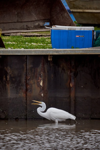Great egret and dock