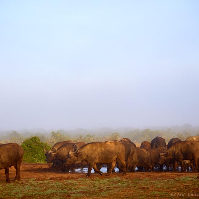 Cape buffalo herd at dawn