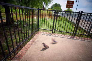 Pigeons, LC Civic Center