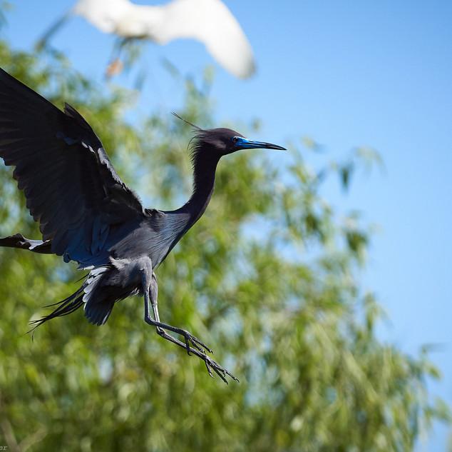 Leap of faith, blue heron
