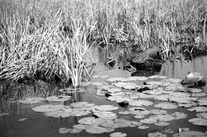 gator and water lilies