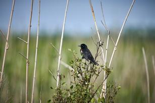 Blackbird, Pintail Drive
