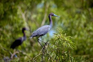 Little blue herons