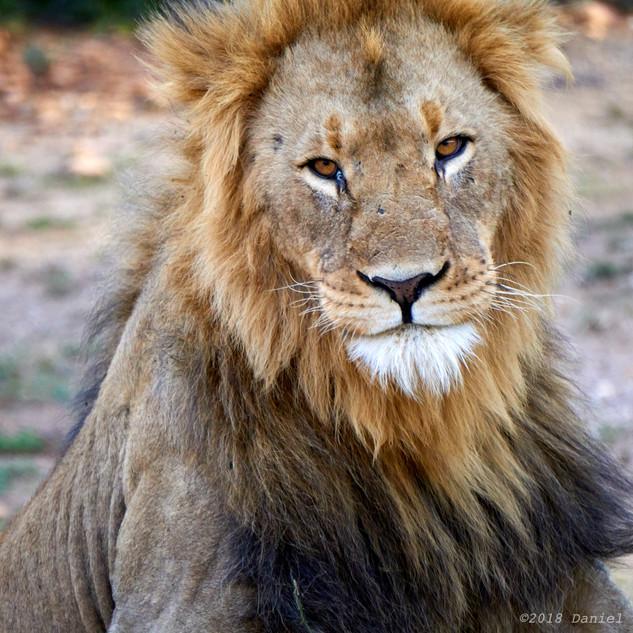 Benign lion