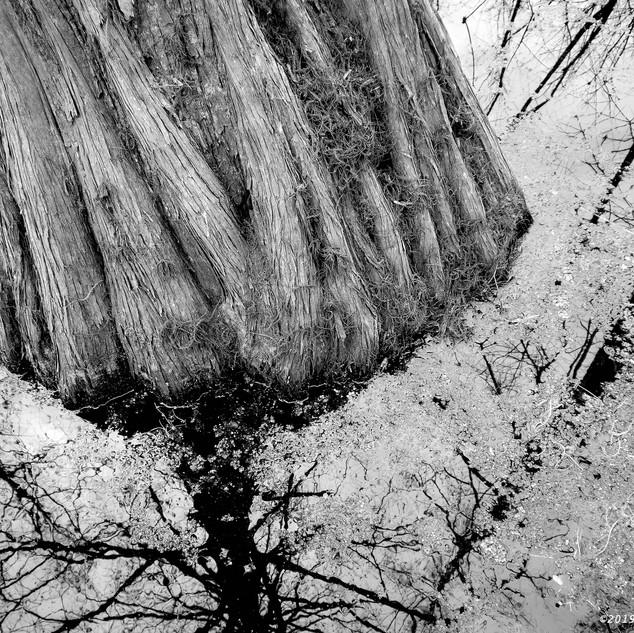 Cypress trunk