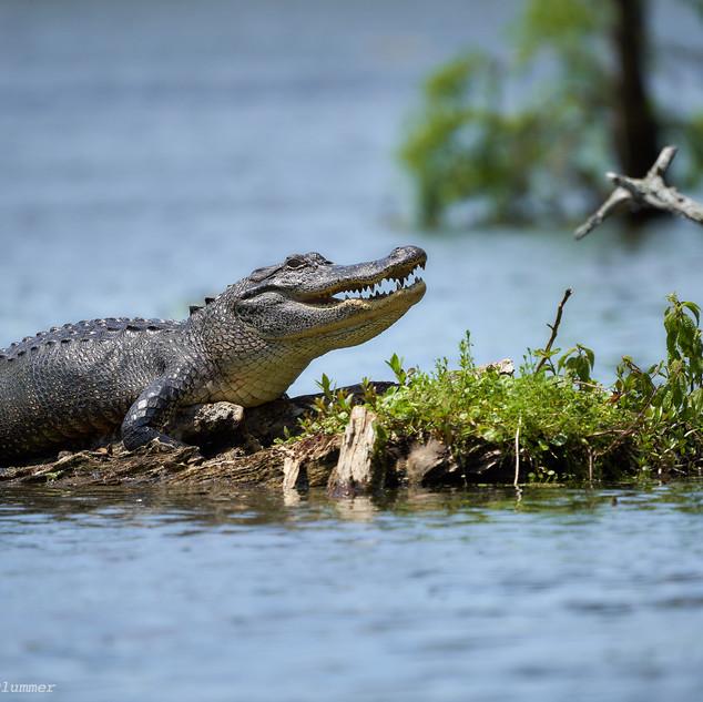 Basking gator, Lake Martin