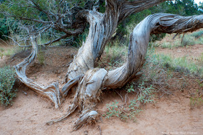 Juniper tree, Grand Canyon NP