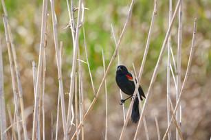 blackbird, posed