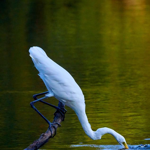 Great egret going under