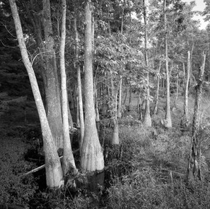 water tupelos, Sam Houston Jones State Park