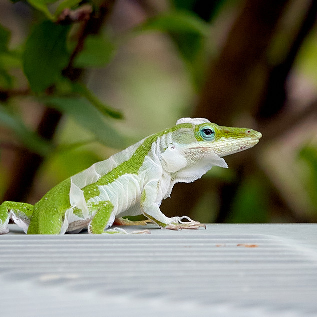 Molting green anole