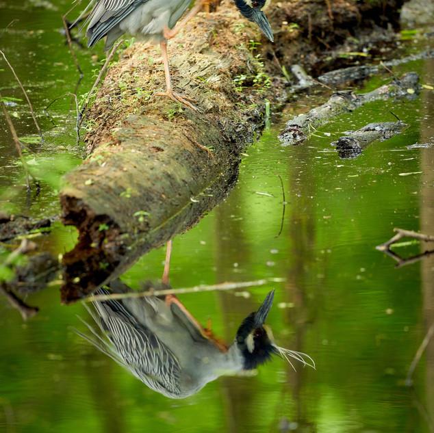 Yellow-crowned night heron peering down