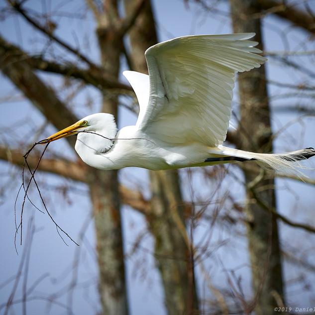 Great egret delivering materials