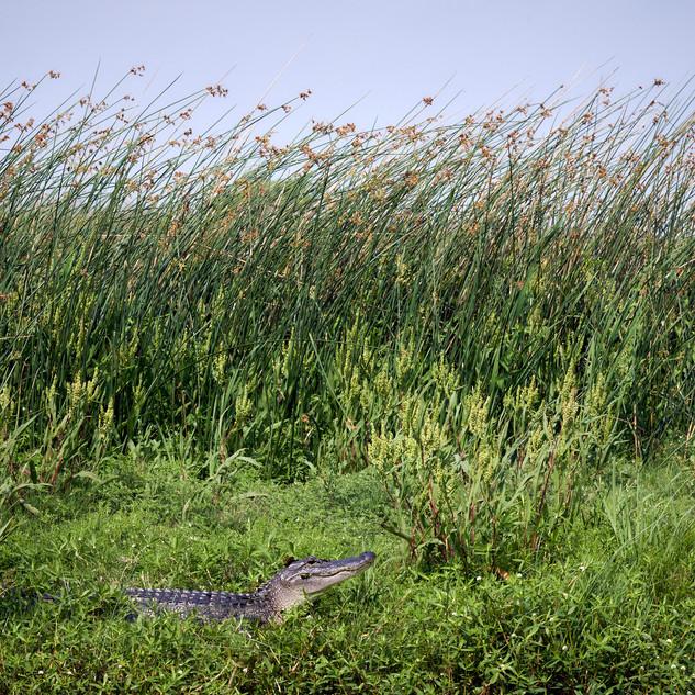 Gator and marsh grass