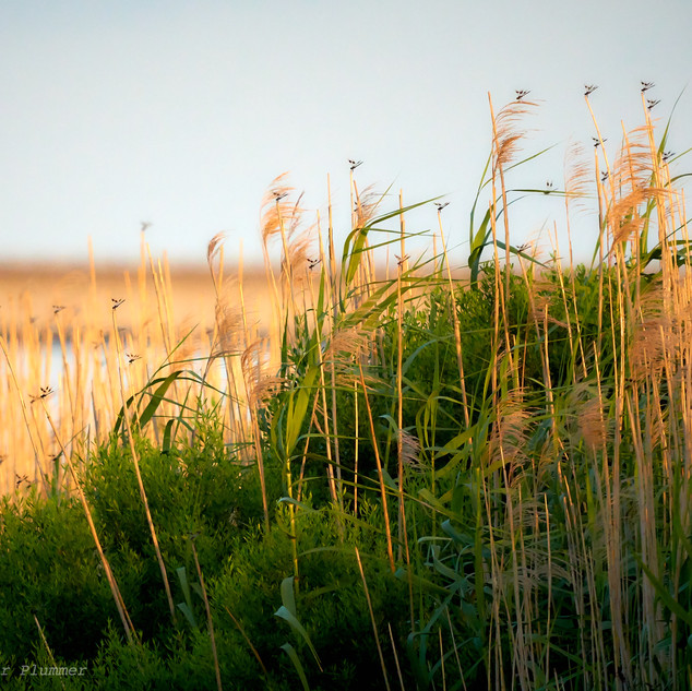 Marsh and dragonflies