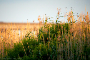 Dragonflies and marsh