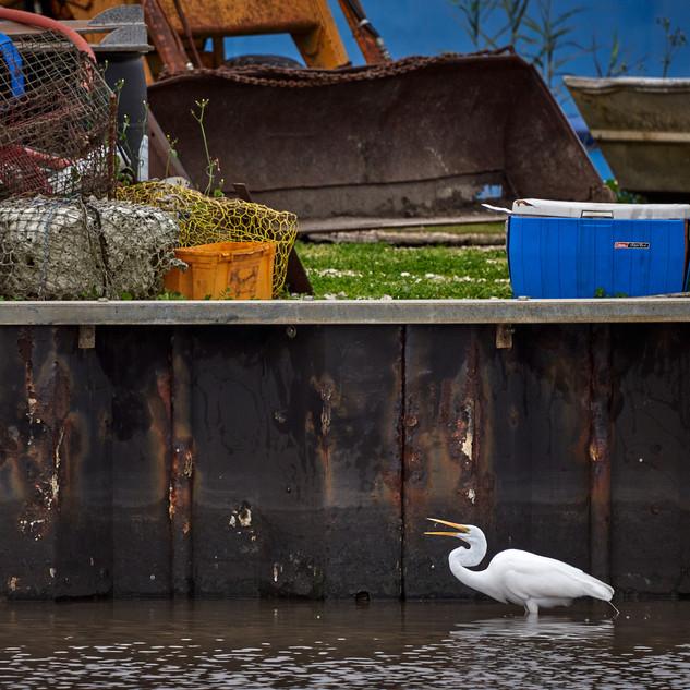 Great egret at the bulkhead