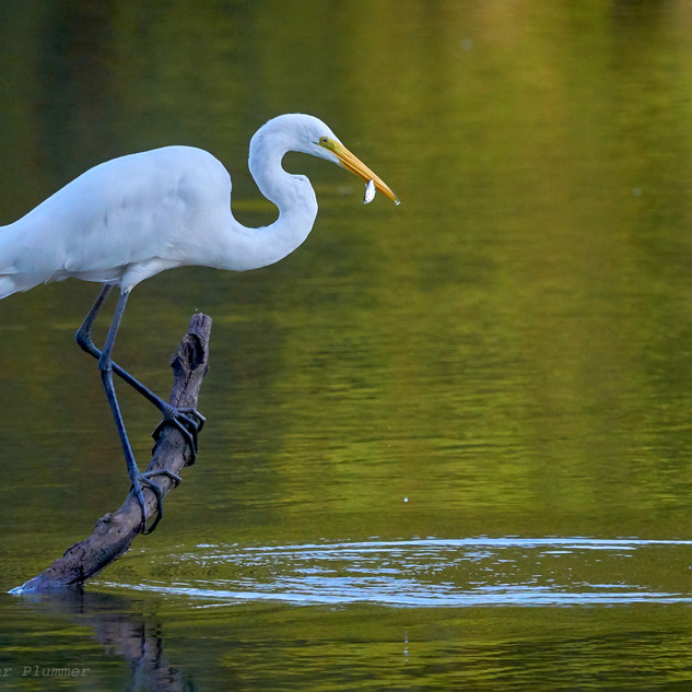 Great egret and snack