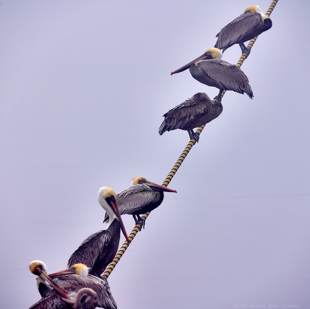 Brown pelicans on a rope