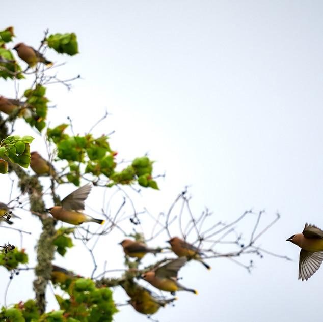 Cedar waxwings 2
