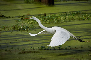Great egret gliding above the swamp