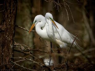 Great egret serene moment