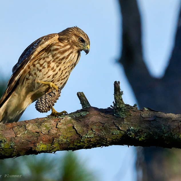 A young hawk and his pine cone