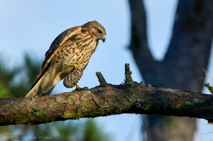 A hawk with his pine cone