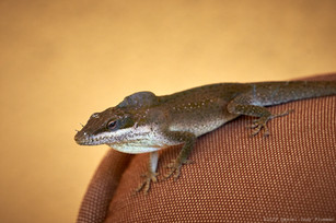Brown anole with crest
