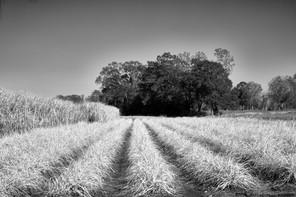 Autumn sugarcane, Iberia Parish, LA