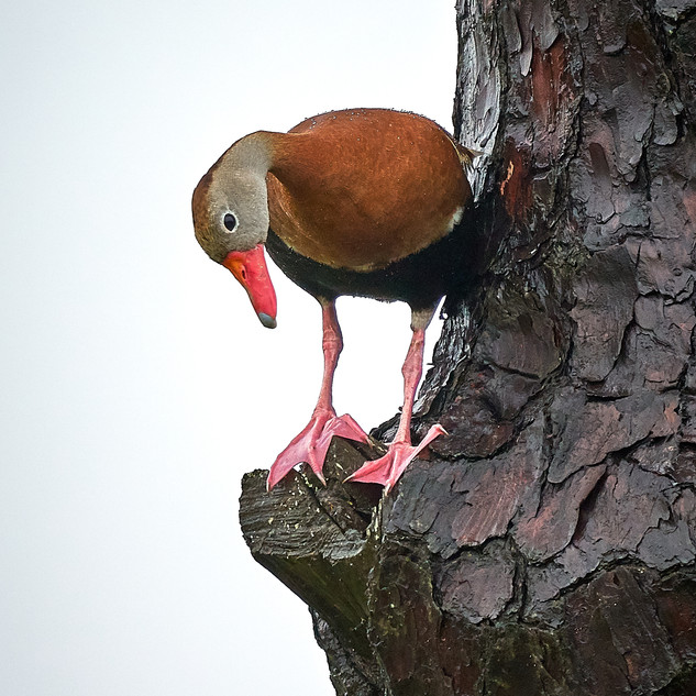 Whistling duck in a pine tree