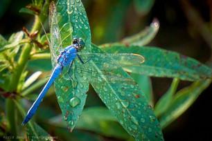 Pondhawk on wet leaves