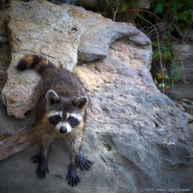 Inquisitive raccoon