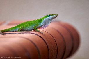 Green anole pondering a leap