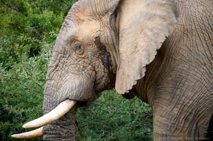 Bull elephant in musk