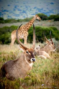 Waterbuck and giraffe