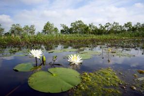 Cameron Prairie water lilies