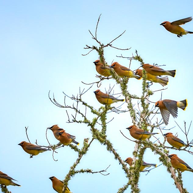 Cedar waxwings 3