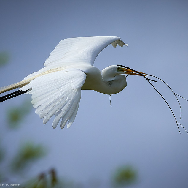 Great egret gliding with a stick