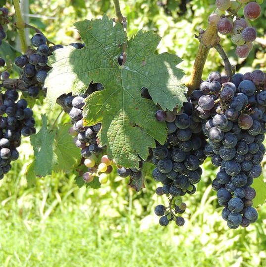 Website Cabernet Franc.JPG