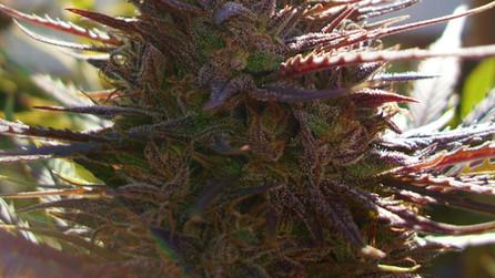 Purple Ape Cake: Regular Seeds