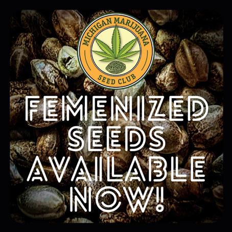 Feminized Seeds vs Regular Seeds