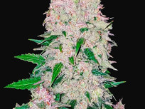 Panama Pete's Red Auto Flower: Feminized Seeds