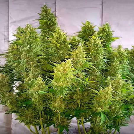 Lost Elephant Auto Flower: Feminized Seeds