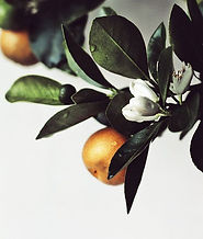 Shemana- Essential Oils - Begamot