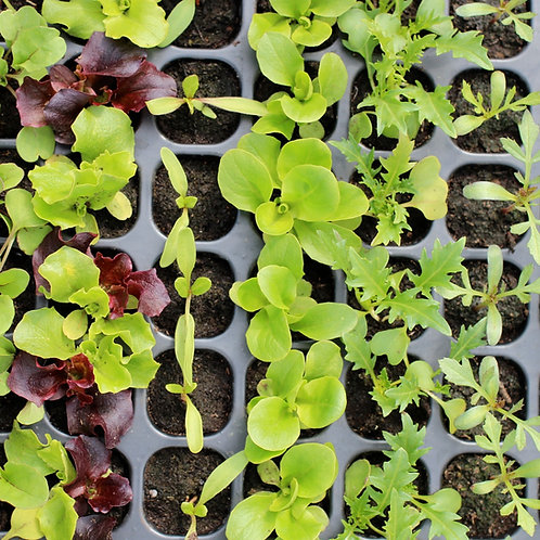 Mixed Seedling Trays - 105 seedlings