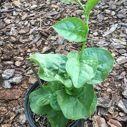 Malabar Spinach - small