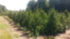 Green Giant Nursery.jpg