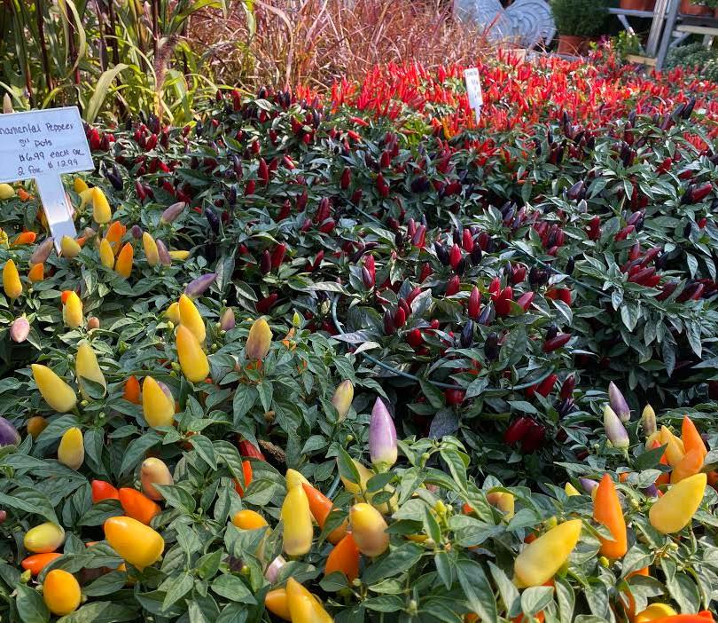 Fall Ornamental Peppers.jpeg
