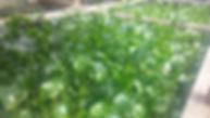 Water Hyacinths.jpg